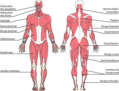 programme split musculation 3 séances