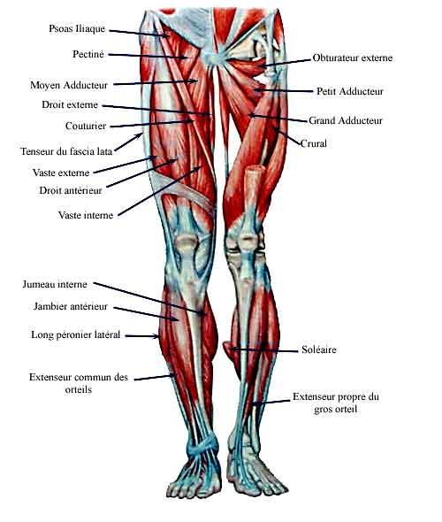 muscles composants les jambes