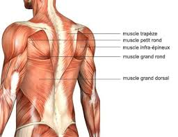 anatomie muscle dos